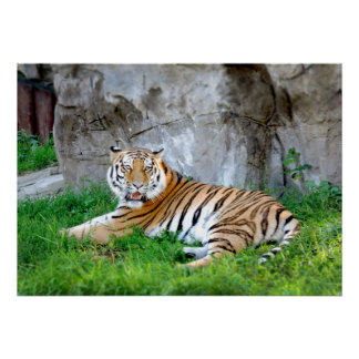 Tiger Lying in the Grass Photo Poster