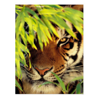 Tiger Peers Behind A Leaf Postcard