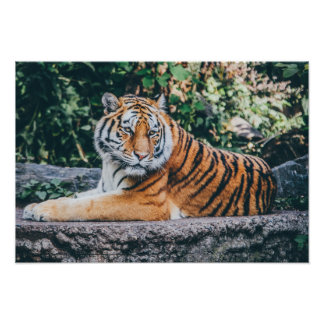 Tiger Photo Poster