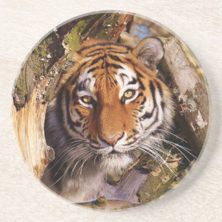Tiger Predator Lurking Fur Beautiful Dangerous Coaster