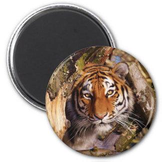 Tiger Predator Lurking Fur Beautiful Dangerous Magnet