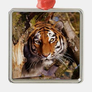 Tiger Predator Lurking Fur Beautiful Dangerous Metal Ornament