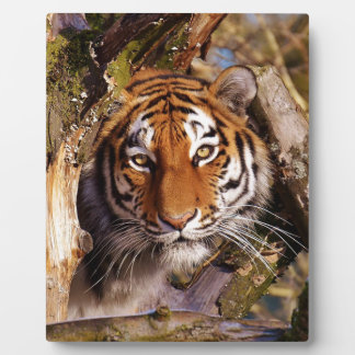 Tiger Predator Lurking Fur Beautiful Dangerous Plaque