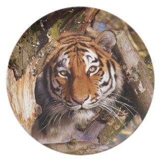 Tiger Predator Lurking Fur Beautiful Dangerous Plate