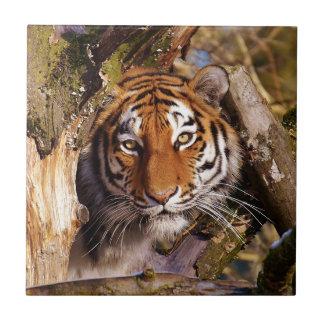 Tiger Predator Lurking Fur Beautiful Dangerous Tile