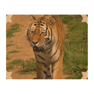 Tiger Queork Photo Prints