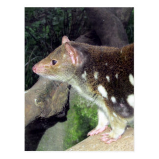 tiger quoll spotted postcard