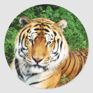 Tiger Relaxing Classic Round Sticker