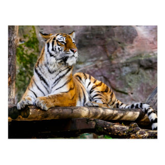 Tiger Relaxing Postcard