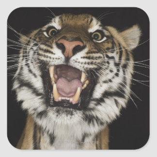 Tiger roaring 2 square sticker