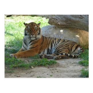 Tiger, Royal Bengal tiger Postcard