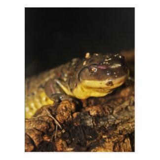 Tiger Salamander Postcard