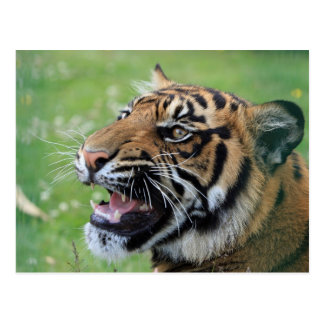 Tiger Showing Teeth Postcard