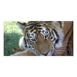 Tiger-sleeping-in-the-grass WILD ANIMALS BIG CATS Picture Card