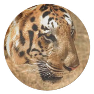 Tiger Stalking in India Plate