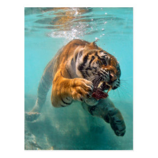 Tiger Underwater Postcard
