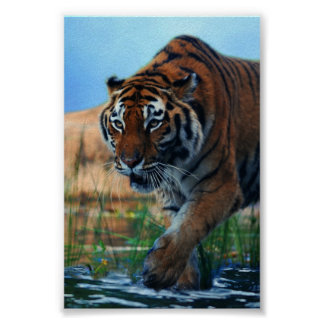 Tiger wading in water poster