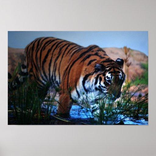 Tiger wading through water poster