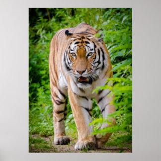 Tiger Walking Through Green Trees Poster