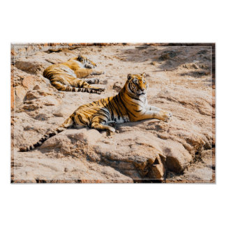 Tigers Lounging Poster