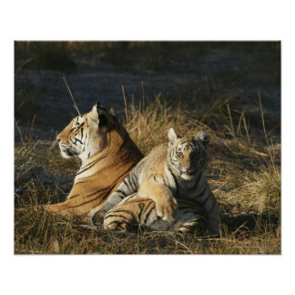Tigers (Panthera tigris) cub lying on his Poster