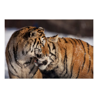 Tigers Showing Affection Poster