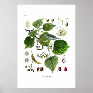 tilia ulmifolia (Linden) Poster