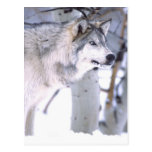 Timber Wolf, Canis lupus, Movie Animal Utah) Postcards