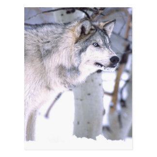 Timber Wolf, Canis lupus, Movie Animal Utah) Postcard