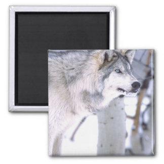 Timber Wolf, Canis lupus, Movie Animal Utah) Square Magnet
