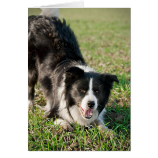 Tino the Border Collie, ready to play Card
