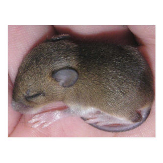 Tiny Baby Mouse With Cute Ears Sleeps Curled Up Postcard