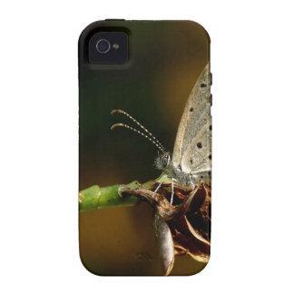 Tiny Grass Blue Zizula Hylax Butterfly iPhone 4 Cover
