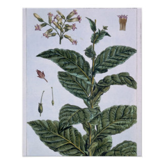 Tobacco plant, plate 7, from 'Collection Precieuse Poster