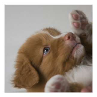 Toller Puppy Poster