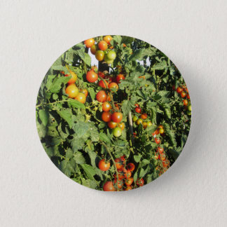 Tomato plants growing in the garden 2 inch round button