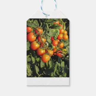 Tomato plants growing in the garden pack of gift tags