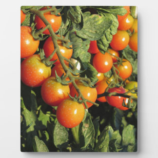 Tomato plants growing in the garden plaque