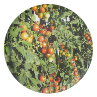 Tomato plants growing in the garden plate