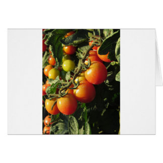 Tomato plants growing in the garden . Tuscany Card