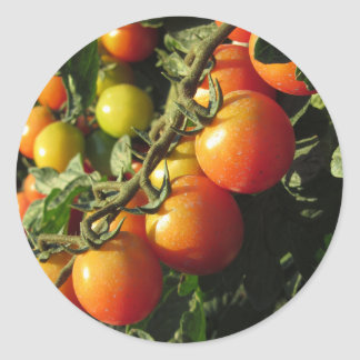 Tomato plants growing in the garden . Tuscany Classic Round Sticker