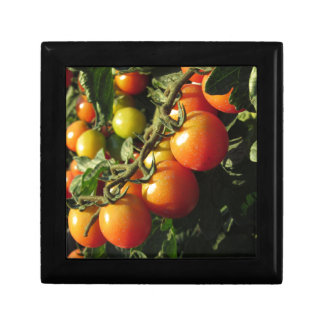 Tomato plants growing in the garden . Tuscany Jewelry Box