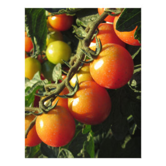 Tomato plants growing in the garden . Tuscany Letterhead