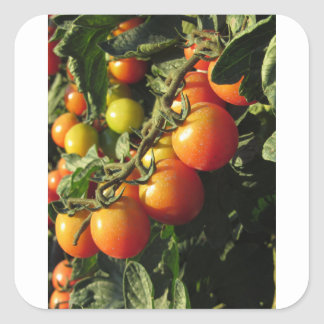 Tomato plants growing in the garden . Tuscany Square Sticker