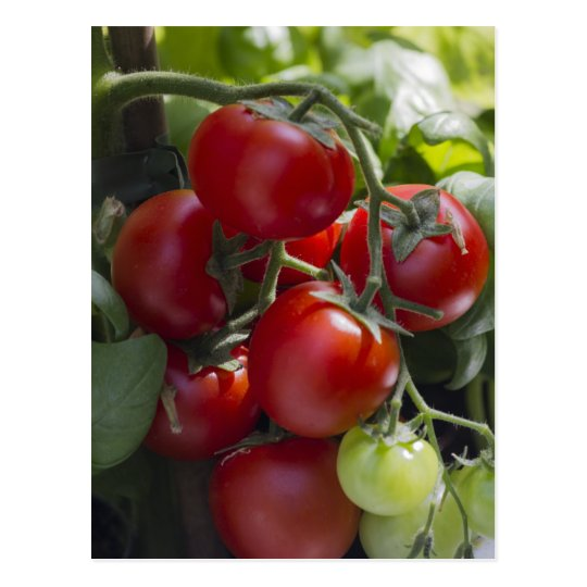 tomatoes in the garden postcard