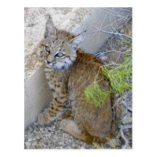 """Tommy"" the bobcat saved Postcard"