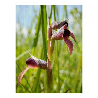 Tongue Orchid Poster