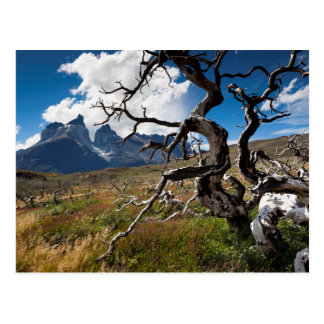 Torres del Paine National Park, fire damaged trees Postcard