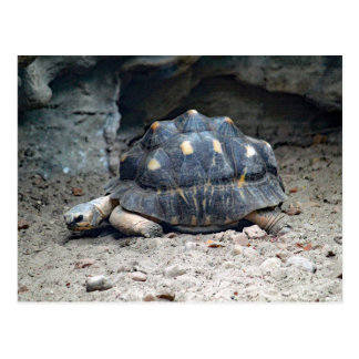 Tortoise 7166 Blank Postcard