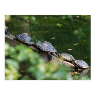 tortoise on lake postcard
